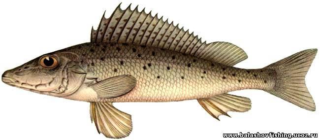 речная рыба фото и названия